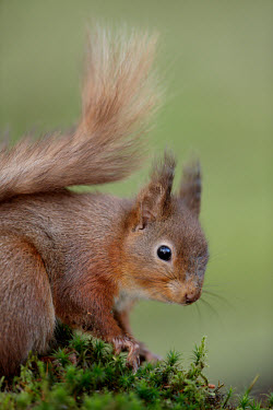 Red squirrel Red Squirrel,Sciurus vulgaris,mammal,rodent,omnivore,squirrel,tail,cute,furry,shallow focus,eating,nuts,arboreal,woodland,woods,forest,Red squirrel,Chordates,Chordata,Squirrels, Chipmunks, Marmots, Pr