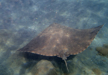 A spiny butterfly ray gliding over the sea floor fish,vertebrates,water,underwater,aquatic,marine,marine life,sea,sea life,ocean,oceans,sea creature,ray,butterfly ray,rays,swimming,Spiny butterfly ray,Gymnura altavela,Cartilaginous Fishes,Chondricht