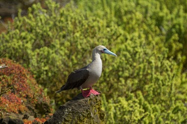 Red-footed booby perched on a rock seabird,sea bird,seabirds,sea birds,aquatic,aquatic birds,coast,coastal,coastline,gull,red,feet,bobo,shallow focus,booby,red footed booby,Red-footed booby,Sula sula,Gannets and Boobies,Sulidae,Aves,Bi