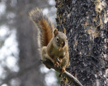 An American red squirrel in a tree with a pine cone mammal,mammals,vertebrate,vertebrates,terrestrial,fur,furry,squirrel,red squirrel,arboreal,close up,tail,eating,food,nuts,shallow focus,pine,pine cone,American red squirrel,Tamiasciurus hudsonicus,Mam