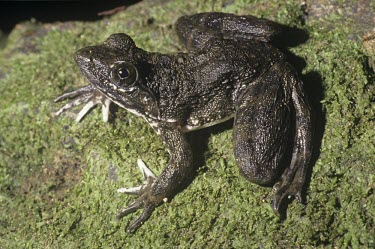 Goliath frog, dorsal view Adult,Conraua goliath,Goliath frog,Ranidae,Ranids,Chordates,Chordata,Amphibians,Amphibia,Anura,Frogs and Toads,Terrestrial,Animalia,Vulnerable,Streams and rivers,goliath,Conraura,Africa,Aquatic,Carniv