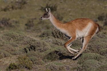 Guanaco running camelid,running,chase,run,steppe,grasslands,action,motion,Guanaco,Lama guanicoe,Chordates,Chordata,Camelidae,Camels,Even-toed Ungulates,Artiodactyla,Mammalia,Mammals,Cetartiodactyla,Animalia,Appendix