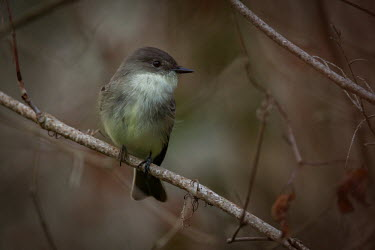 Eastern phoebe perched on a branch Animalia,Chordata,Aves,Passeriformes,Tyrannidae,Sayornis phoebe,Eastern phoebe,close up,shallow focus,feathers,down,fluffy,perched,perching,bird,birds,PEC