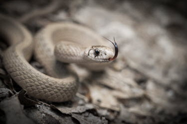 Brown snake flicking its tongue Animalia,Chordata,Reptilia,Squamata,Natricidae,Storeria dekayi,Brownsnake,Brown Snake,De Kay's snake,macro,close up,tongue,forked tongue,sand,coiled,snake,snakes,reptile,reptiles,scales,scaly,action,m