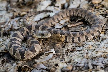 Lake Erie water snake Lake Erie water snake,Animalia,Chordata,Reptilia,Squamata,Natricidae,Nerodia sipedon,Nerodia sipedon insularum,snake,snakes,reptile,reptiles,scales,scaly,terrestrial,cold blooded,close up,stripey,brow