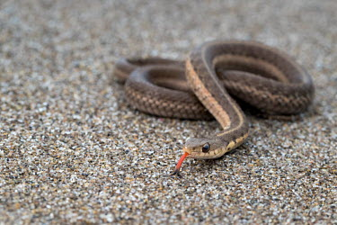 Eastern garter snake Eastern garter snake,Thamnophis sirtalis sirtalis,macro,close up,tongue,forked tongue,sand,coiled,snake,snakes,reptile,reptiles,scales,scaly,reptilia,terrestrial,cold blooded,Common garter snake,Thamn