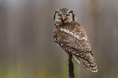 Northern hawk-owl carefully perched on a slim stump Animalia,Chordata,Aves,Strigiformes,Strigidae,Surnia ulula,owl,owls,bird of prey,birds of prey,predator,talons,carnivore,hunter,Northern Hawk-owl,Hawk Owl,Northern Hawk Owl,shallow focus,looking at ca