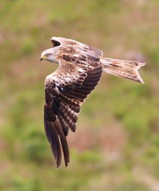 Red kite in flight bird of prey,birds of prey,predator,talons,carnivore,hunter,raptor,bird,birds,kite,flying,in flight,action,tail,wings,wingspan,Red kite,Milvus milvus,Aves,Birds,Falconiformes,Hawks Eagles Falcons Kest