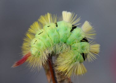 Pale tussock caterpillar curled over a twig Animalia,Arthropoda,Insecta,Lepidoptera,Lymantriidae,Calliteara,Calliteara pudibunda,caterpillar,caterpillars,larvae,larval,larva,insect,insects,invertebrate,invertebrates,moth,pale tussock,moths,macr
