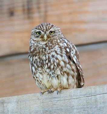 Little owl dozing on a fence owl,owls,bird of prey,birds of prey,predator,talons,carnivore,hunter,sleepy,snoozing,tired,nap,nap time,Little owl,Athene noctua,True Owls,Strigidae,Aves,Birds,Owls,Strigiformes,Chordates,Chordata,Tib
