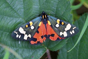 Scarlet tiger moth Animalia,Insecta,Lepidoptera,Erebidae,Callimorpha,Callimorpha dominula,Scarlet tiger moth,tiger moth,moth,moths,macro,close up,patterned,pattern