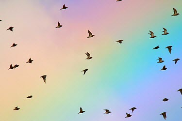 Pacific golden plover flying past a rainbow bird,birds,shorebird,flying,in flight,action,motion,rainbow,flock,plover,plovers,pretty,colourful,sky,Pacific golden plover,Pluvialis fulva,Charadriiformes,Shorebirds and Terns,Aves,Birds,Chordates,Ch