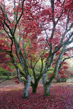 Leaves in shades of red covering trees Scotland,forest,woodland,trees,tree,autumn,sunlight,leaves,seasons,red,moss,green,colourful,maple,acer,beauty in nature,idyllic,tranquil scene