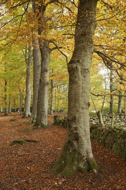 Woodland in Autumn colours Scotland,forest,woodland,trees,tree,autumn,sunlight,leaves,seasons,yellow,colourful,colours,leaf,beauty in nature,idyllic,tranquil scene