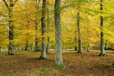 Autum coloured trees Scotland,forest,woodland,trees,tree,autumn,sunlight,leaves,seasons,yellow,colourful,colours,leaf,beauty in nature,idyllic,tranquil scene