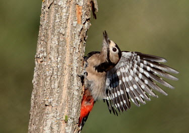 A juvenile greater-spotted woodpecker drumming on a tree woodpecker,young,juvenile,action,motion,pecking,tree,wings,pattern,drumming,Great-spotted woodpecker,Dendrocopos major,Chordates,Chordata,Picidae,Woodpeckers,Piciformes,Woodpeckers and Flicker,Aves,Bi