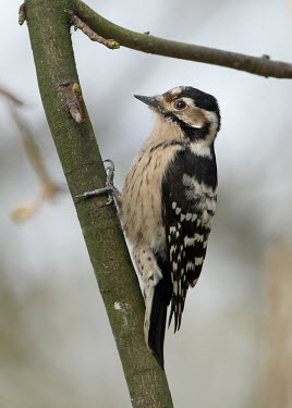 A female lesser spotted woodpecker in a tree Lesser spotted woodpecker,Dendrocopus minor,woodpecker,woodland bird,female,Animalia,Chordata,Aves,Piciformes,Picidae,Dryobates minor,bird,birds,close up,shallow focus,tree,arboreal,Lesser-spotted woo