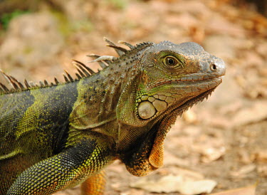 Portrait of a green iguana lizard,lizards,reptile,reptiles,scales,scaly,reptilia,terrestrial,cold blooded,iguana,close up,portrait,shallow focus,dulap,Green iguana,Iguana iguana,Reptilia,Reptiles,Iguanidae,Squamata,Lizards and