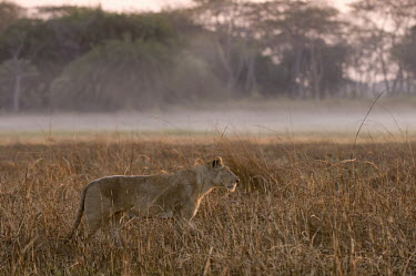 Lioness in the mist at sunrise, Zambia Africa,Busanga Plains,Kafue,lion,cat,cats,feline,felidae,predator,carnivore,big cat,big cats,lions,apex,vertebrate,mammal,mammals,terrestrial,African,savanna,savannah,Lioness,Mist,Morning,National Par