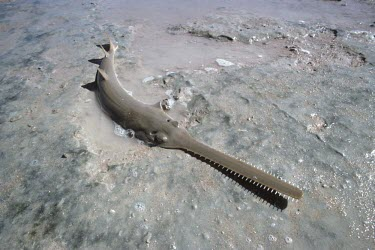 Green sawfish Adult,Chordates,Chordata,True rays and Skates,Rajiformes,Cartilaginous Fishes,Chondrichthyes,longcomb sawfish,narrow-snout sawfish,Animalia,Carnivorous,Pristis,Indian,Ocean,zijsron,Pristidae,Aquatic,C