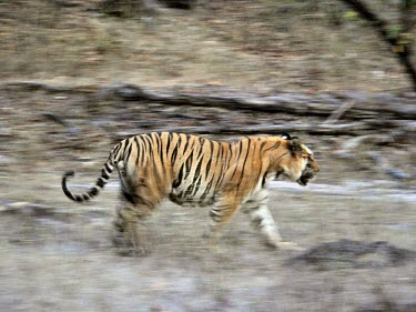 A motion shot of an Indian tiger in a forest opening cat,cats,feline,felidae,predator,carnivore,big cat,big cats,tiger,tigers,Indian tiger,apex,vertebrate,mammal,mammals,terrestrial,stripey,camouflage,camouflaged,forest,motion,action,moving,Tiger,Panthe