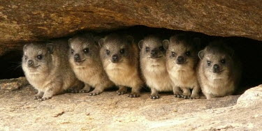 A group of rock hyrax cuddled together positive,Siblings,sibling,caves,Cave,cavern,caverns,Close up,cute,Offspring,children,young,babies,forests,Forest,Terrestrial,ground,Juvenile,immature,child,baby,infants,infant,stones,gravelly,Rock,peb