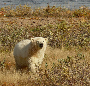 Polar bear wandering coastal Canada during the warmer climate environment,ecosystem,Habitat,wanderer,Nomadic,vagrant,nomad,wandering,Hemispheres,hempisphere,Aquatic,water,water body,shoreline,Shore,sea shore,shoreland,sea side,Northern hemisphere,North hemispher
