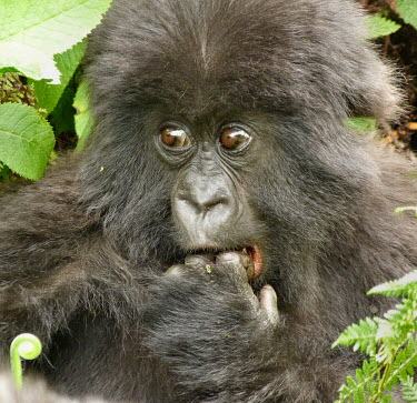 A young mountain gorilla with a funny expression funny,humourous,lol,entertaining,humour,cute,positive,Juvenile,immature,child,children,baby,infants,infant,young,babies,Gorilla beringei beringei,Mountain gorilla,juvenile,face,portrait,innocent,eyes,