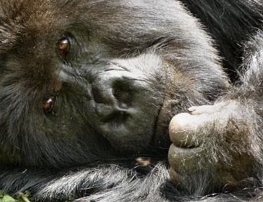 Close up of a mountain gorilla Gorilla beringei beringei,Mountain gorilla,primate,ape,great ape,gorilla,gorillas,jungle,Africa,forest,hair,hairy,portrait,close up,Eastern gorilla,Gorilla beringei,Mammalia,Mammals,Chordates,Chordata