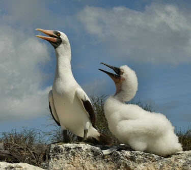Nazca booby adult and chick Offspring,children,young,babies,Plumage,plumes,plume,feathers,Feather,mature,fully grown,Adult,grown up,adults,chicks,Chick,Juvenile,immature,child,baby,infants,infant,seabird,sea bird,seabirds,sea bi