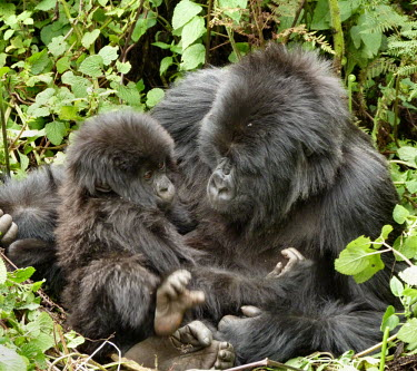 A mother mountain gorilla and her baby Gorilla beringei beringei,Mountain gorilla,baby,young,juvenile,cute,family,mother,primate,ape,great ape,gorilla,gorillas,jungle,Africa,forest,hair,hairy,Eastern gorilla,Gorilla beringei,Mammalia,Mamma