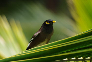 A common myna on a palm frond bird,birds,myna,shallow focus,close up,green background,yellow,green,tropical,jungle,palm,Common myna,Acridotheres tristis,Chordates,Chordata,Perching Birds,Passeriformes,Sturnidae,Starlings,Aves,Bird