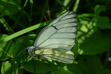 Close up of a black-veined butterfly Greenery,foliage,vegetation,Close up,Macro,macrophotography,Green background,Black-veined white,Animalia,Arthropoda,Insecta,Lepidoptera,Pieridae,Aporia,Aporia crataegi,butterfly,butterflies,insect,ins