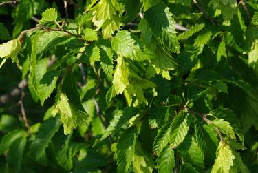 Leaves Macro,macrophotography,leaf,leafy,Leafy background,leaves,Green background,Greenery,foliage,vegetation,Close up,plant,plants,flora,greenery