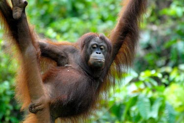A Bornean orangutan in a tree Borneo,Bornean,Bornean orangutan,Borneo orangutan,orangutan,ape,great ape,apes,great apes,primate,primates,jungle,jungles,forest,forests,rainforest,hominidae,hominids,hominid,Asia,fur,hair,orange,ging