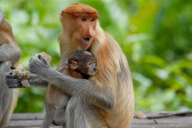 Female proboscis monkey with her baby Terrestrial,ground,Portrait,face picture,face shot,rain forest,tropical rainforest,tropical forest,jungle,Rainforest,jungles,family,forests,Forest,environment,ecosystem,Habitat,Arboreal,treelife,lives
