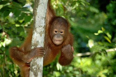 A young Bornean orangutan hanging in a tree environment,ecosystem,Habitat,Arboreal,treelife,lives in tree,tree life,tree dweller,rain forest,tropical rainforest,tropical forest,jungle,Rainforest,jungles,forests,Forest,Terrestrial,ground,tropica