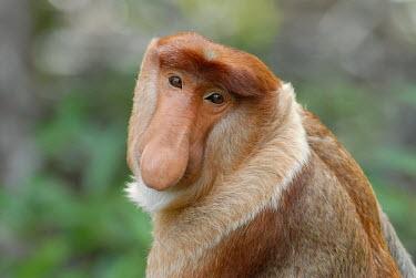 Portrait of a male proboscis monkey monkey,monkeys,primate,primates,arboreal,mammal,mammals,vertebrate,vertebrates,proboscis,nose,face,shallow focus,male,portrait,jungle,Borneo,Proboscis monkey,Nasalis larvatus,Mammalia,Mammals,Old Worl