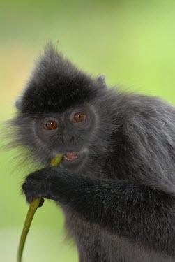 Close up of a silvered leaf monkey monkey,monkeys,primate,primates,arboreal,mammal,mammals,vertebrate,vertebrates,silver leaf monkey,face,close up,portrait,eating,Borneo,Silvered leaf monkey,Trachypithecus cristatus,Old World Monkeys,C