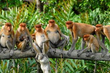 A troop of proboscis monkeys lined up on log monkey,monkeys,primate,primates,arboreal,mammal,mammals,vertebrate,vertebrates,proboscis,nose,face,shallow focus,female,jungle,Borneo,troop,family,Proboscis monkey,Nasalis larvatus,Mammalia,Mammals,Ol