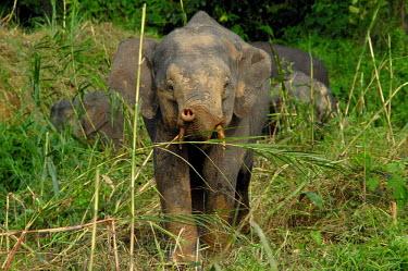 Borneo elephants at the jungles edge Borneo elephant,Borneo pygmy elephant,Elephas maximus borneensis,Animalia,Chordata,Mammalia,Proboscidea,Elephantidae,Elephas maximus,jungle,Borneo,tusks,Chordates,Elephants,Elephants, Mammoths, Mastod