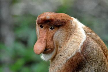 Portrait of a male proboscis monkey Terrestrial,ground,Nose,snout,face,Portrait,face picture,face shot,tropical,Tropical rainforest,tropics,tropic,jungles,jungle,Arboreal,treelife,lives in tree,tree life,tree dweller,rain forest,tropica