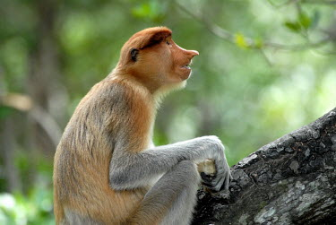 Female proboscis monkey in a tree Terrestrial,ground,rain forest,tropical rainforest,tropical forest,jungle,Rainforest,jungles,Arboreal,treelife,lives in tree,tree life,tree dweller,face,environment,ecosystem,Habitat,Portrait,face pic