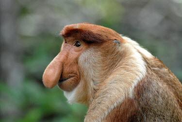 Portrait of a male proboscis monkey rain forest,tropical rainforest,tropical forest,jungle,Rainforest,jungles,face,Nose,snout,tropical,Tropical rainforest,tropics,tropic,Portrait,face picture,face shot,Arboreal,treelife,lives in tree,tr