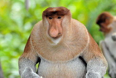 Male proboscis monkey rain forest,tropical rainforest,tropical forest,jungle,Rainforest,jungles,Arboreal,treelife,lives in tree,tree life,tree dweller,face,Terrestrial,ground,tropical,Tropical rainforest,tropics,tropic,boy