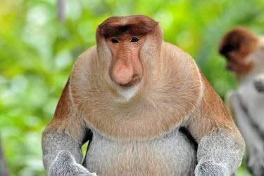 Male proboscis monkey rain forest,tropical rainforest,tropical forest,jungle,Rainforest,jungles,Arboreal,treelife,lives in tree,tree life,tree dweller,face,Terrestrial,ground,tropical,Tropical rainforest,tropics,tropic,boy