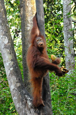Bornean orangutan clutching mango and bananas Borneo,Bornean,Bornean orangutan,Borneo orangutan,orangutan,ape,great ape,apes,great apes,primate,primates,jungle,jungles,forest,forests,rainforest,hominidae,hominids,hominid,Asia,fur,hair,orange,ging