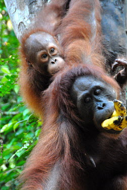 Female Bornean orangutan and young at a sanctuary Borneo,Bornean,Bornean orangutan,Borneo orangutan,orangutan,ape,great ape,apes,great apes,primate,primates,jungle,jungles,forest,forests,rainforest,hominidae,hominids,hominid,Asia,fur,hair,orange,ging