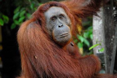 Female Bornean orangutan Borneo,Bornean,Bornean orangutan,Borneo orangutan,orangutan,ape,great ape,apes,great apes,primate,primates,jungle,jungles,forest,forests,rainforest,hominidae,hominids,hominid,Asia,fur,hair,orange,ging