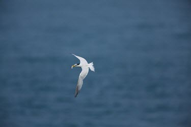 Chinese crested tern flying with a fish in its mouth Thalasseus bernsteini,seabird,sea bird,seabirds,sea birds,aquatic,aquatic birds,coast,coastal,coastline,gull,flying,in-flight,motion,action,shallow focus,fishing,catch,Chinese crested tern,Sterna bern